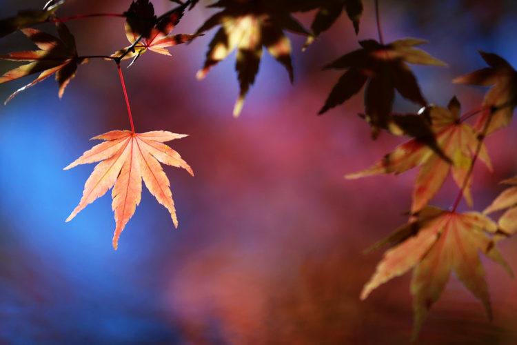 【台中景點】入冬之初,大地的調色盤打翻了/映出火紅的詩篇『 福壽山-楓葉 』